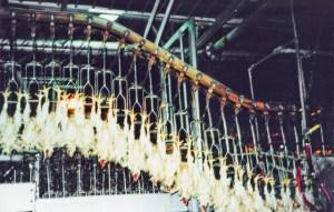 A chicken slaughterhouse.