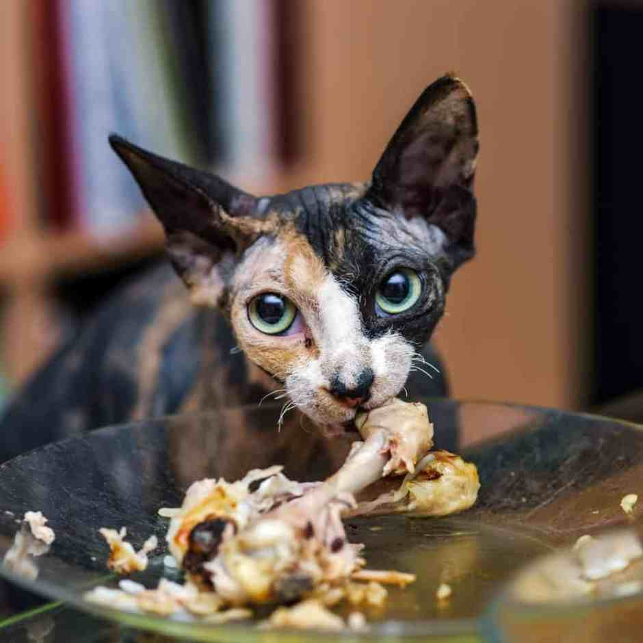 Sphinx cat eating chicken