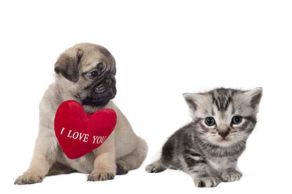 """Pug puppy with sign """"I Love You"""" looking at a small British Shorthair kitten."""