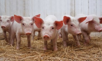 Piglets1