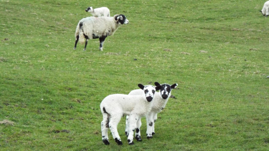 An English Rorschach test is made up of lambs' faces