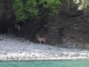 GlacierIsland_Deer
