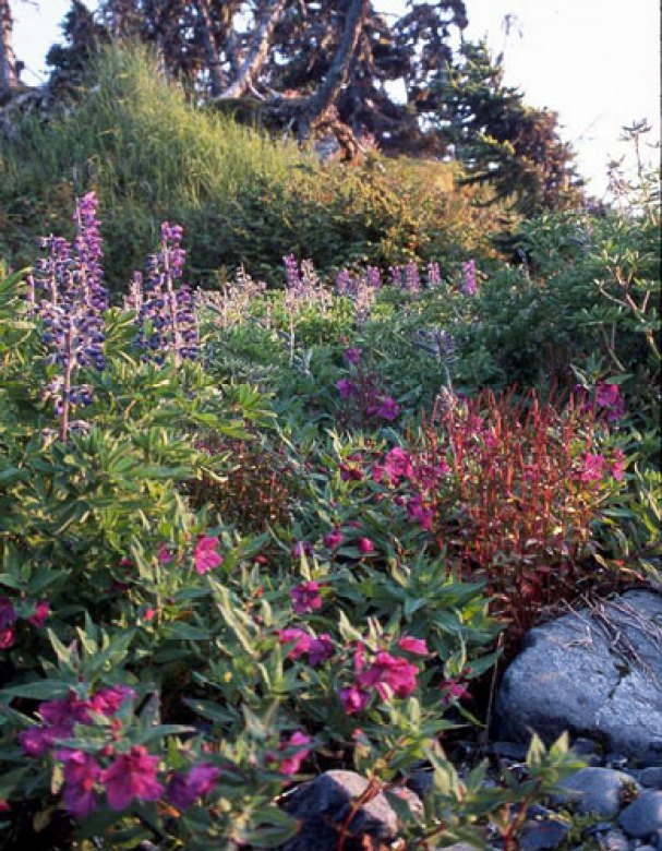 River beauty, wild lupine, and sheep sorrel are just some of the wildflowers that you can find in PWS