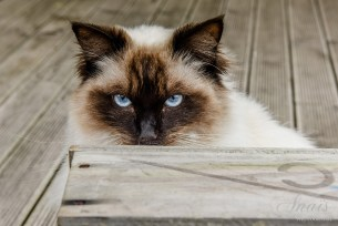 The stunning Blue gray eyes of a Himalayan Blue Point as it stares from behind the yard bench