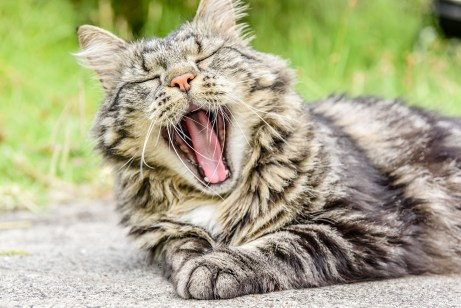 The Domestic Shorthair opens it's mouth in a big yawn while napping in the yard