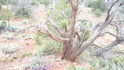 Twisted trees, caused by the vortex energy
