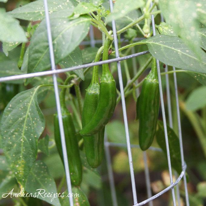 Andrea's Recipes - Serrano Grande peppers