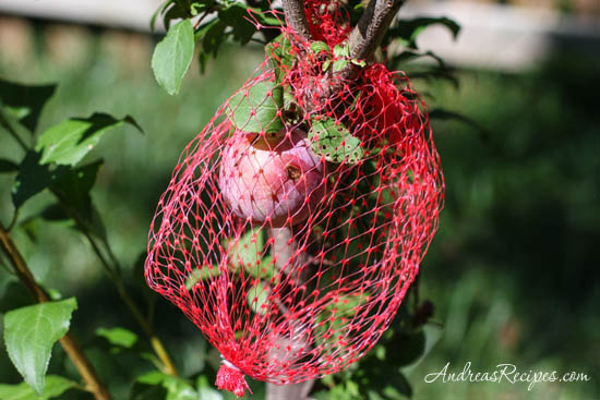 Andrea Meyers - plums covered in netting