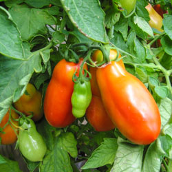 San Marzano Tomatoes in Our Garden - Andrea Meyers