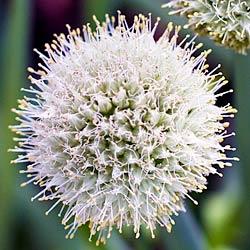 Green Onion Flower - Andrea Meyers