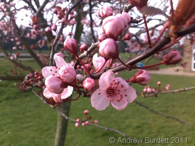Springing into March, a photo of blossom on a tree at school.