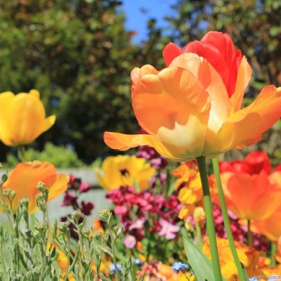 Tulips blooming in the garden.