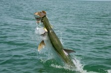 Sanibel Fishing Charters - Tarpon