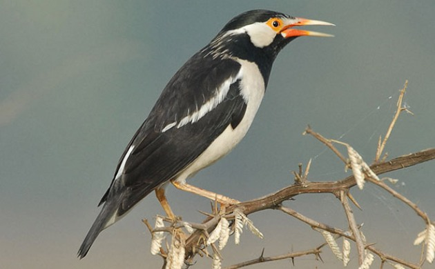 Gambar Burung Jalak Suren Jawa