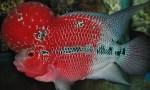 Pakan atau Makanan Terbaik untuk Ikan Louhan