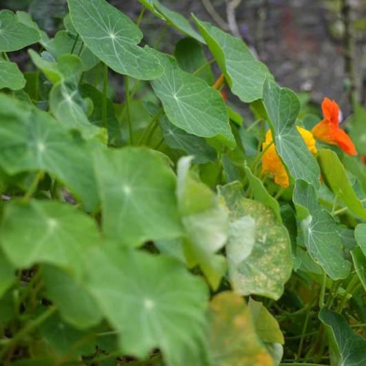 Nasturtium grows in the garden of Sooneck Castle, Germany
