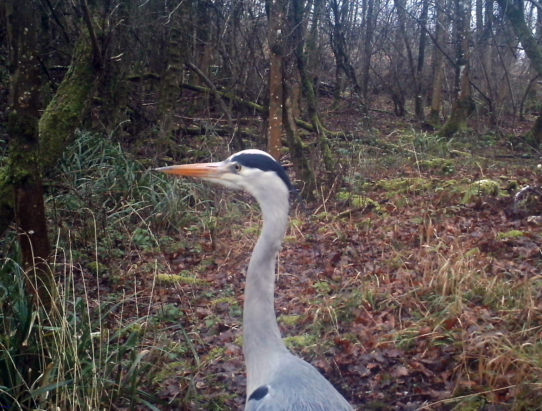 Grey Heron  birds   An English Wood Birds  Heron  January 2016