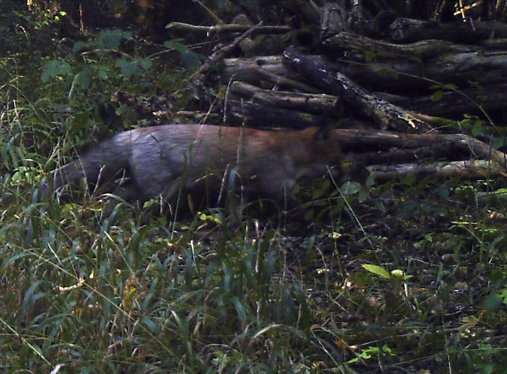 Mammals, Fox, October 2016