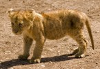 cecil lion cub featured
