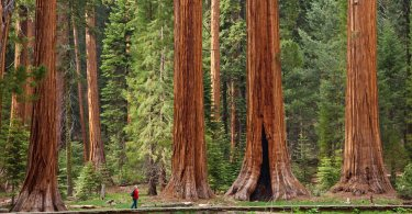 end of the giant sequoia