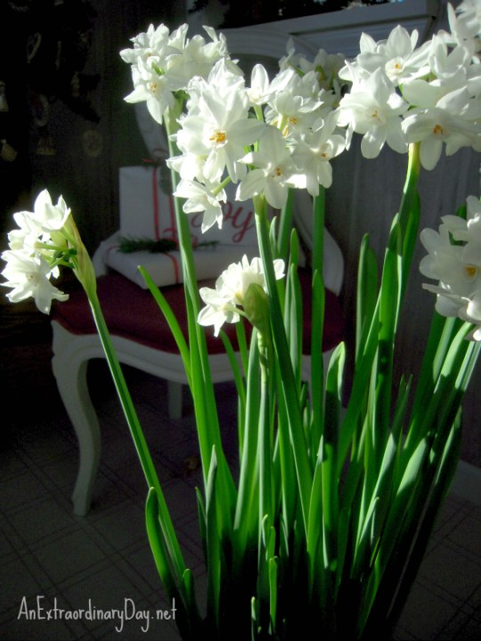 From bulbs to flower - paperwhites are fun and easy to grow for holiday decorating