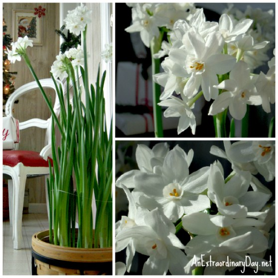 Decorating with Paperwhites for the holidays