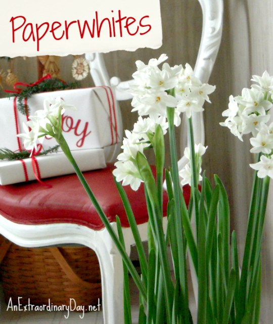 Paperwhites in the Swedish Room