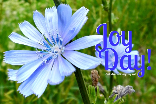 Joy Day! :: Chicory Wildflower :: AnExtraordinaryDay.net