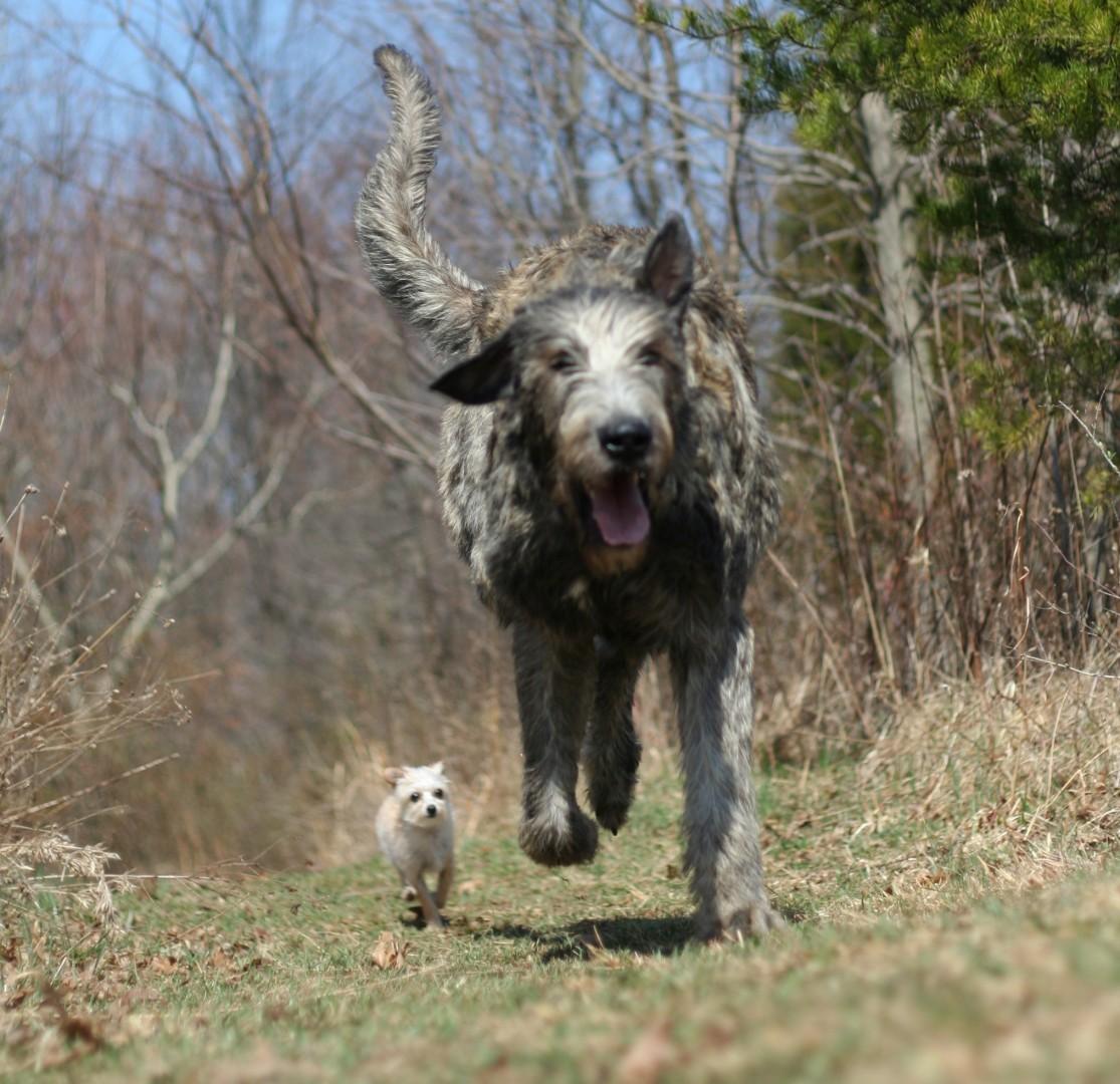 Irish-Wolfhound-31