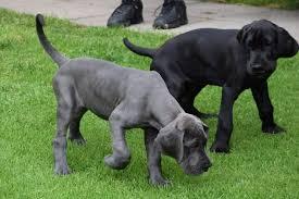 dane pups