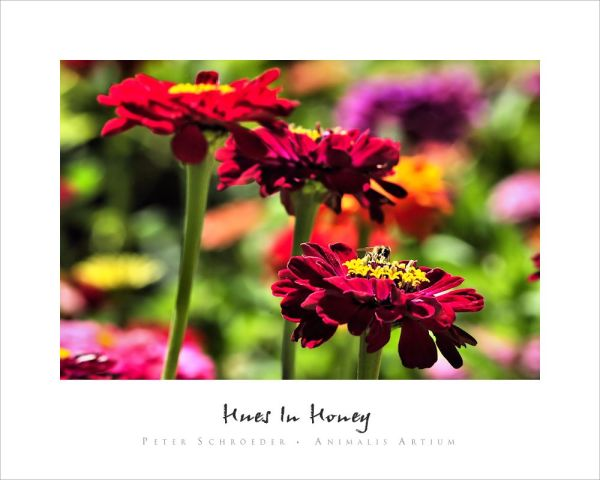 Hues In Honey - Peter Schroeder - Animalis Artium