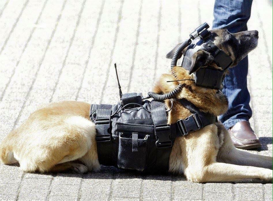 Собака, який зміг розшукати терористів в Бельгії