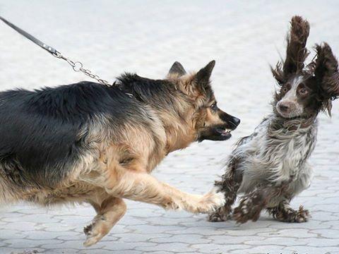 ЧОМУ собаку на повідку поводиться агресивно?