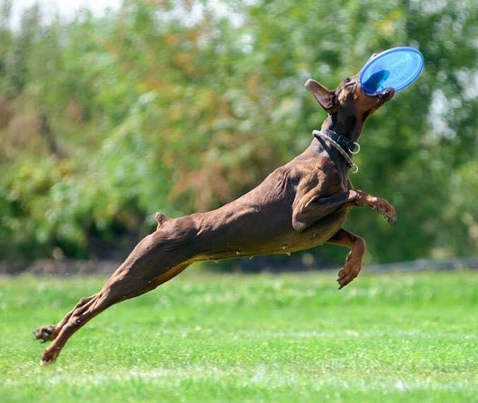 Дог-фрізби – цікавий спорт для активних собак