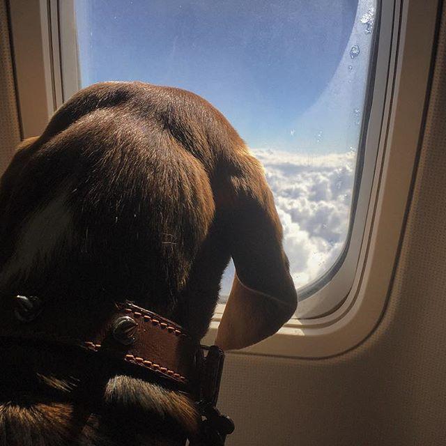 Переліт за океан з собакою в салоні літака