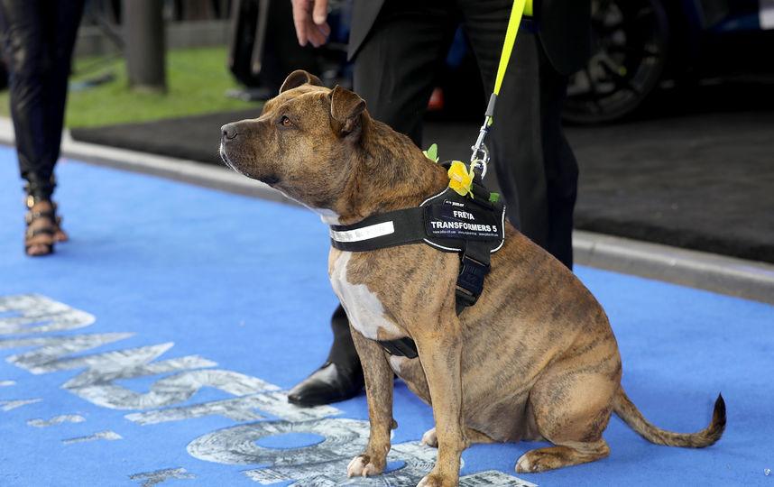 """Найзнаменітіша собака Британії на прем'єрі """"Трансформерів-5"""""""