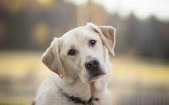 Собака, дивлячись в очі господаря, маніпулює рівнем окситоцину в його організмі