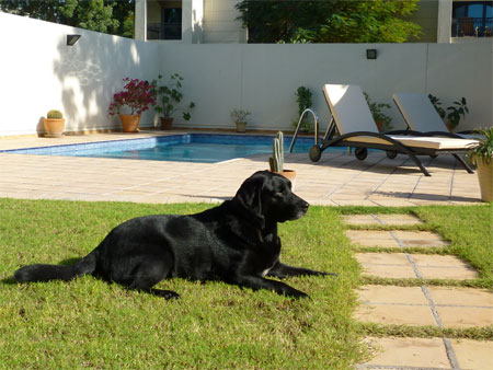 black labrador travels from Scotland to Dubai with Animalcouriers