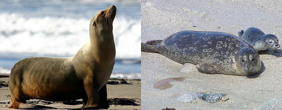 seal-sea-lion-featured