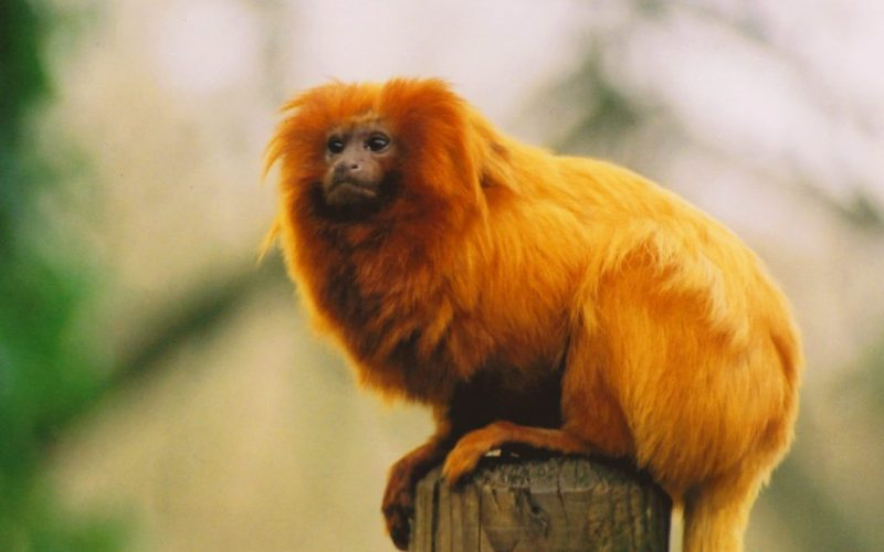 Brazil-Golden-Monkey-2