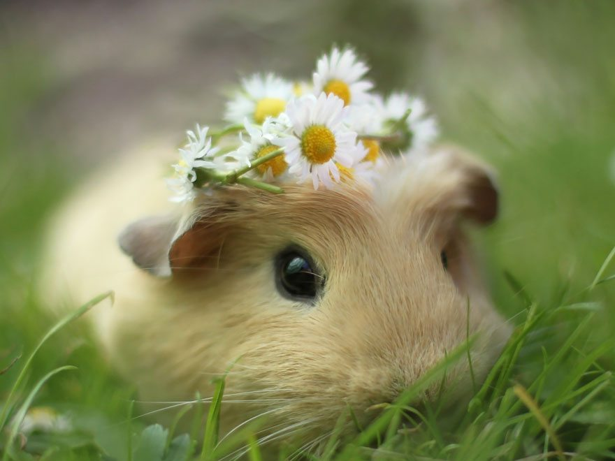 lovely-guinea-pig