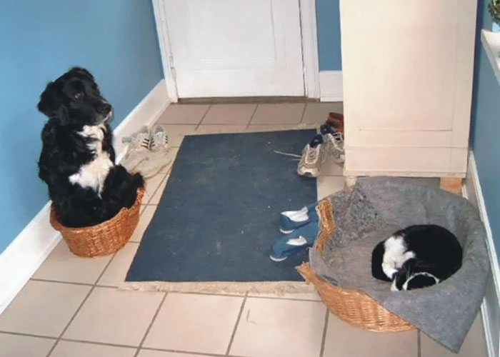 1-totally-careless-cats-stealing-dog-beds