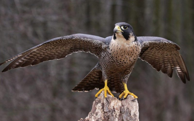 peregrine-falcon-wings-extended