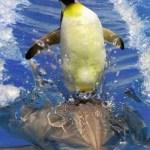 pinguino surfeando sobre delfin