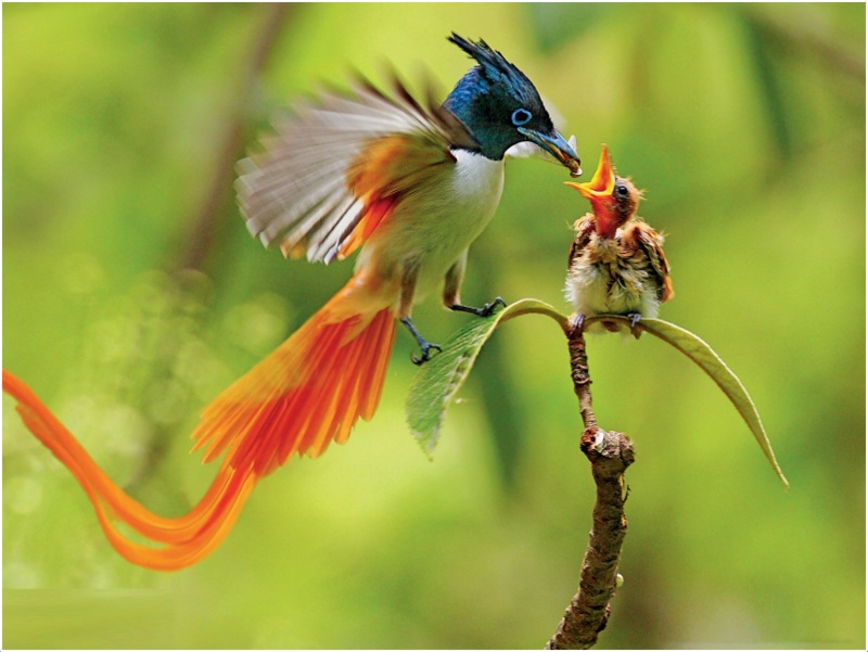 Birds of Paradise   Pictures  Facts  Characteristics  Behavior     Birds of Paradise
