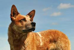 Idyllic Animalso Red Coat Dog Breeds Red Dog Breed Images What Are Red Heelers Used Get To Know Red Heeler