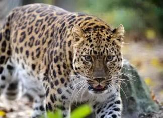 Facts about Amur Leopard