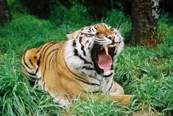 Sumatran Tiger Facts - Sumatran Tiger