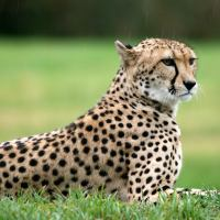 Cheetah Facts For Kids | Cheetah Habitat & Diet