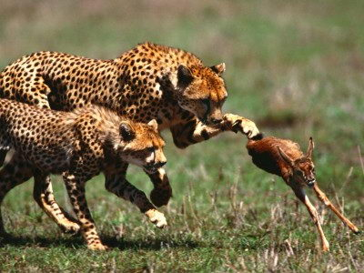 What Do Cheetahs Eat - Cheetah Diet